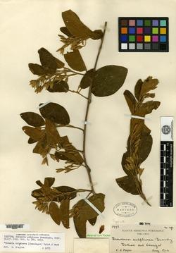 Image of Bonamia sulphurea