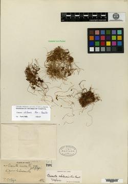 Cuscuta chilensis image