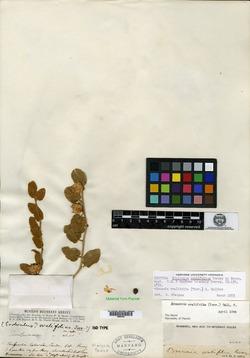 Image of Bonamia ovalifolia