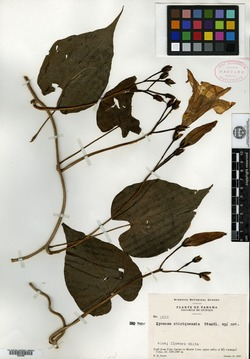 Image of Ipomoea chiriquensis