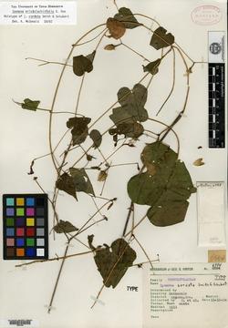 Image of Ipomoea cordata