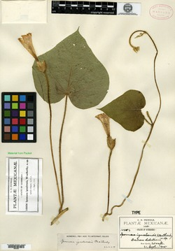 Image of Ipomoea igualensis