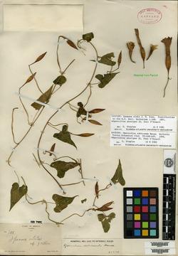 Operculina pteripes image