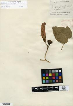 Image of Ipomoea calantha