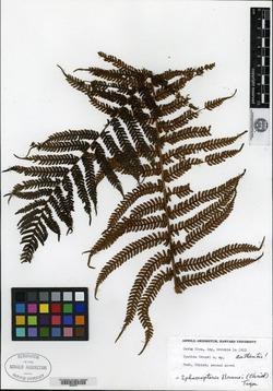 Sphaeropteris brunei image