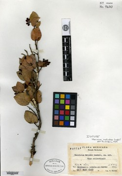 Image of Vaccinium cordifolium