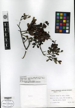 Image of Symphysia alainii