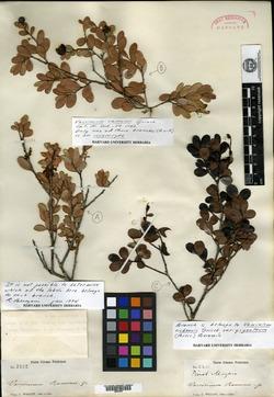 Image of Vaccinium cubense
