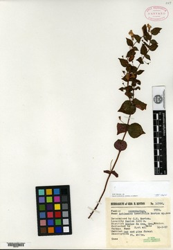 Achimenes brevifolia image