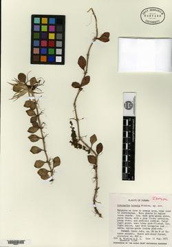 Codonanthe luteola image
