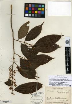 Ardisia guianensis image