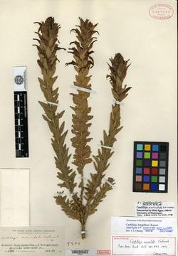Image of Castilleja auriculata