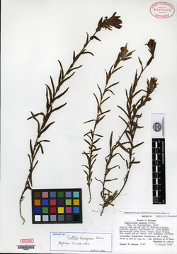 Image of Castilleja durangensis
