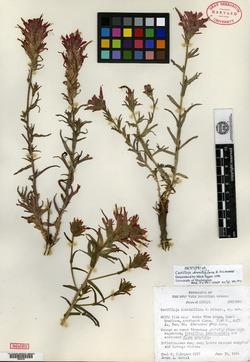Image of Castilleja dissitiflora