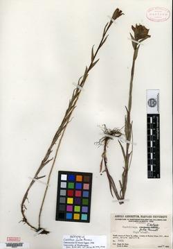 Image of Castilleja fulva