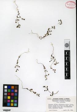 Image of Collinsia antonina