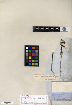 Image of Collinsia bartsiaefolia