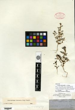 Schistophragma intermedium image