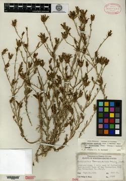 Image of Cordylanthus bernardinus