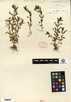 Image of Gratiola oresbia