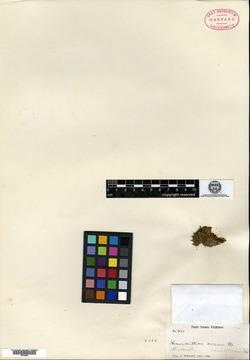 Image of Micranthemum erosum