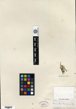 Image of Micranthemum reflexum