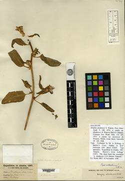 Image of Atriplex alaskensis