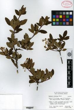 Image of Berberis claireae