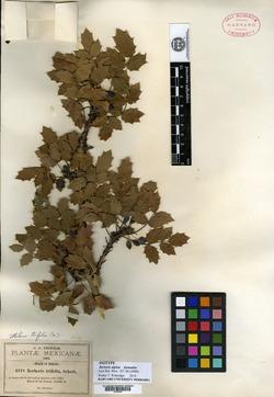 Image of Berberis alpina