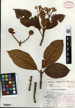 Image of Hydrangea nebulicola