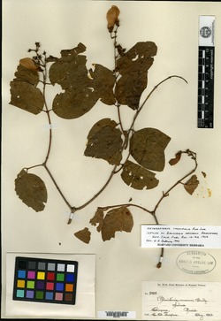 Image of Banisteria nemorum