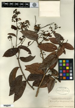 Image of Bronwenia acapulcensis