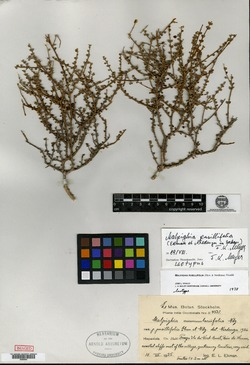 Image of Malpighia pusillifolia