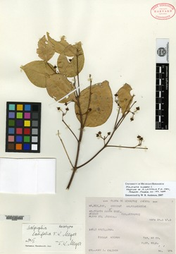 Image of Malpighia latifolia