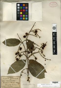 Bunchosia lindeniana image
