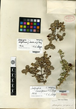Image of Malpighia apiculata