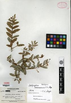 Image of Malpighia cubensis