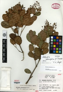 Image of Malpighia obtusifolia