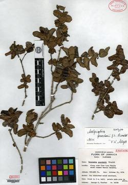 Image of Malpighia proctorii