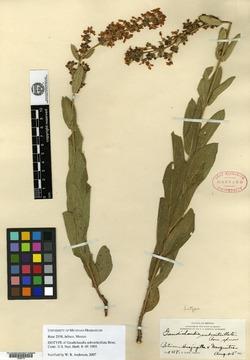 Image of Aspicarpa subverticillata