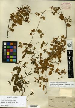 Image of Cottsia scandens