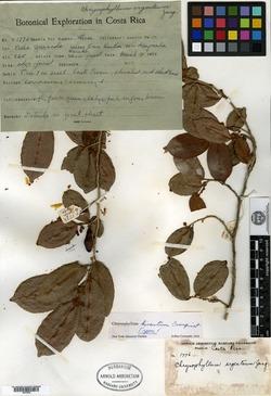 Chrysophyllum hirsutum image