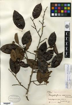 Image of Chrysophyllum mexicanum