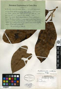 Pouteria austin-smithii image