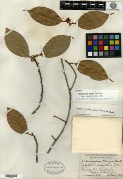 Image of Pouteria reticulata