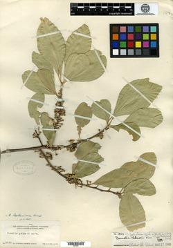 Image of Bumelia palmeri
