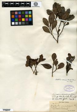 Image of Bumelia cubensis