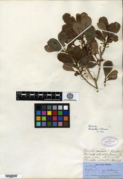Bumelia cubensis image