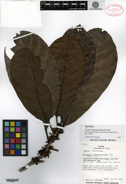 Pouteria leptopedicellata image