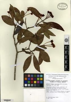 Image of Ternstroemia huasteca